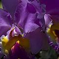 Cattleya Orchid Garden Of Eden Maui by Sharon Mau