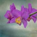 Cattleya Orchid  by Kim Hojnacki