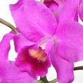 Cattleya Orchid by Lynn Berreitter