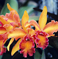 Cattleya Orchids by Allan Seiden - Printscapes