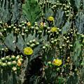 Catus Blossoms by Bernd Billmayer