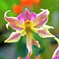 Caucaea Rhodosticta Orchid by Heiko Koehrer-Wagner