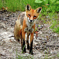 Cautious But Curious Red Fox Portrait by Debbie Oppermann
