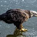Cautious Eagle by Terri Morris