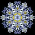 Ceanothus Iris Medley 1 by Marsha Tudor