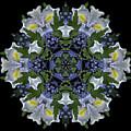 Ceanothus Iris Medley 2 by Marsha Tudor