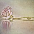 Cecile Brunner by Linda Lees