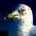 Cedar Gull Iv by Jeff Kurtz