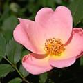 Cedar Key Rosa Canina by Warren Thompson