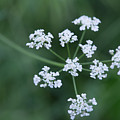 Cedar Park Texas Hedge Parsley by JG Thompson