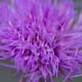 Cedar Park Texas Purple Thistle by JG Thompson
