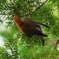 Cedar Waxwing Beauties 1 by Kim Pate