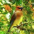 Cedar Waxwing Beauties 11 by Kim Pate