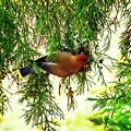 Cedar Waxwing Beauties 19 by Kim Pate