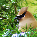 Cedar Waxwing Beauties 6 by Kim Pate