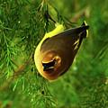 Cedar Waxwing Beauties 9 by Kim Pate