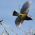 Cedar Waxwing In Flight by Lauri Novak