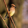 Cedar Waxwing On Branch by Terry DeLuco