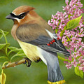 Cedar Waxwing On Lilac by Karen Coombes