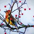 Cedar Waxwing Painting by Trent Garverick
