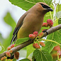 Cedar Waxwing With Mulberries by Libby Lord