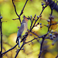 Cedar Waxwing With Windblown Crest by Kerri Farley of New River Nature