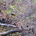 Cedar Waxwings Feeding 2 by Edward Peterson
