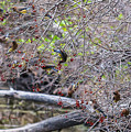 Cedar Waxwings Feeding by Edward Peterson