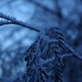 Cedars Of Ice II by Cindy Johnston