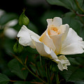 Centennial Rose by Living Color Photography Lorraine Lynch