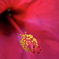 Center Of Attention - Hibiscus 01 by Pamela Critchlow