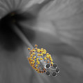 Center Of Attention - Hibiscus 02 - Bw by Pamela Critchlow