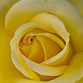 Centered Beautiful Yellow Rose by Dina Calvarese