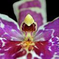 Centerpiece - Purple Orchid Macro by George Bostian