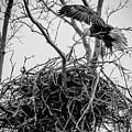 Centerport Eagle 1 by Deidre Elzer-Lento