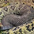 Central American Rattlesnakee by Matthew Kramer