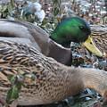 Central Park Ducks by Jennifer  Sweet