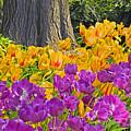 Central Park Tulip Display by Regina Geoghan
