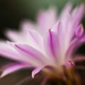 Cereus Glow by Mike Reid