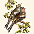 Chaffinches Restored by Pablo Avanzini