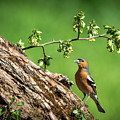 Chaffinch Posing by Framing Places