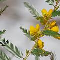 Chamaecrista Fasciculata Sleeping Plant Partridge Pea by JR Cox