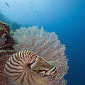 Chambered Nautilus by Dave Fleetham - Printscapes