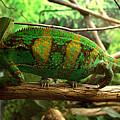 Chameleon by James Smullins