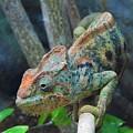 Chameleon by Matthew Kramer