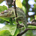 Chameleon On Branch by Robin Maria Pedrero