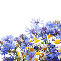 Chamomile And Cornflower Mix by Arletta Cwalina