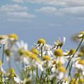 Chamomile Nature Spring Scene by Goce Risteski