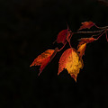 Changing Color Fall Maple Leaves On Black by Terry DeLuco