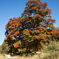 Changing Maple Colors by Bob Phillips